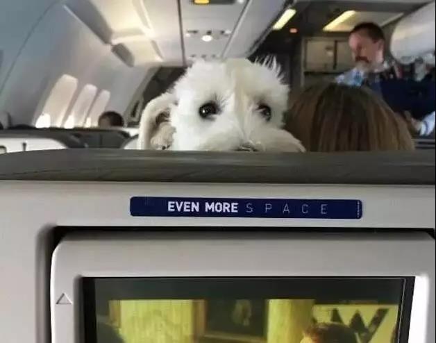 以前我们经常羡慕国外的一些航空公司,可以允许乘客带狗狗一起坐飞机。 这回大家可以不用再羡慕别人了,因为最近海南航空新推出了一项服务,那就是:客舱宠物运输! 也就是说,狗狗可以进入客舱,跟我们一起坐飞机啦!  这项服务的推出对主人们来说是件天大的好事,意味着以后出门旅行不用再担心宠物托运危险,可以毫无顾忌的带上它说走就走!