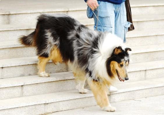 爬楼梯运动对狗狗的伤害